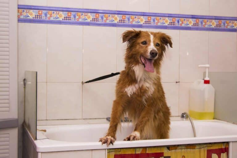 How Often To Bathe A Border Collie? (A Grooming Guide)