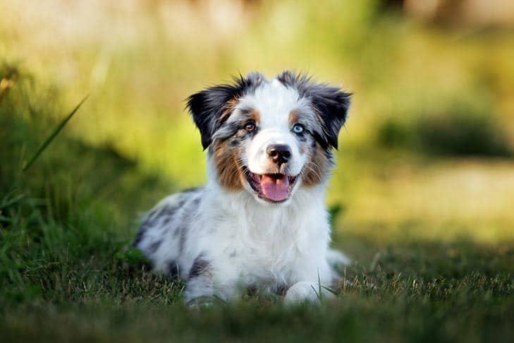 Teacup American Bulldog (Facts, Temperaments, Size)