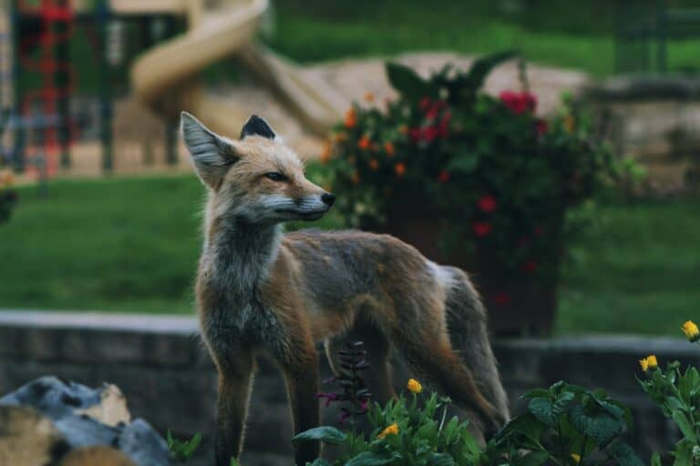Can A Baby Fox Be Domesticated? (5 Important Facts)