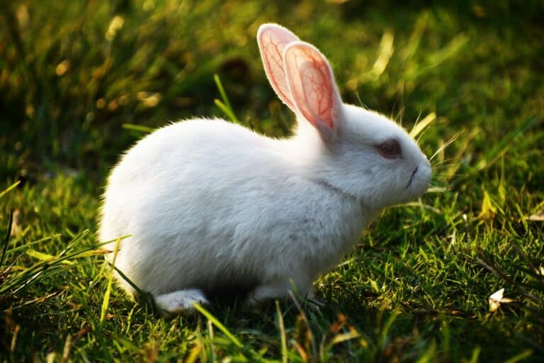 Can Baby Rabbits Eat Timothy Hay? (Best Diet for Baby Rabbits)