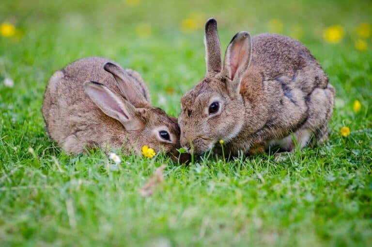 How Many Rabbits Does A Family Of 4 Need?