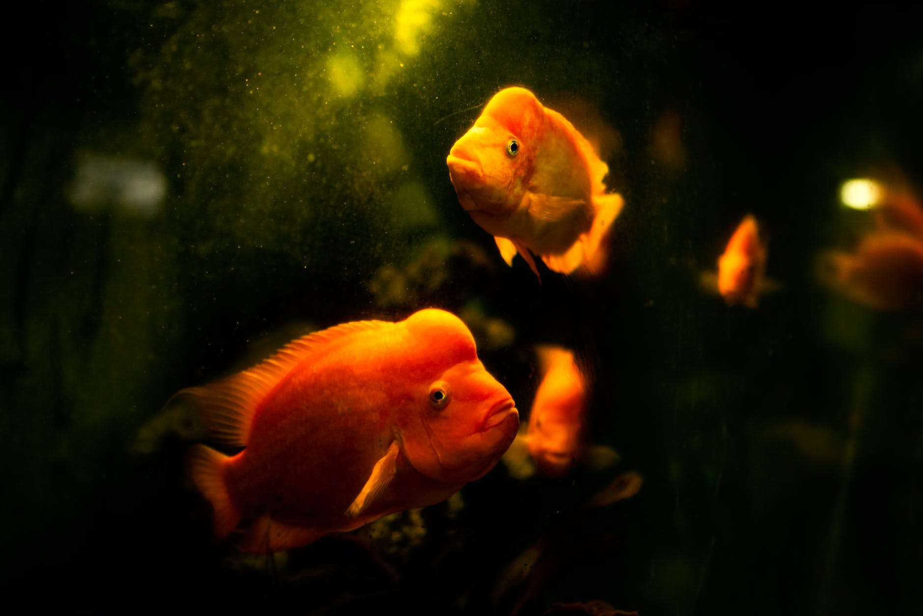 Do Oranda Goldfish Need A Heater? (7 Important Facts)