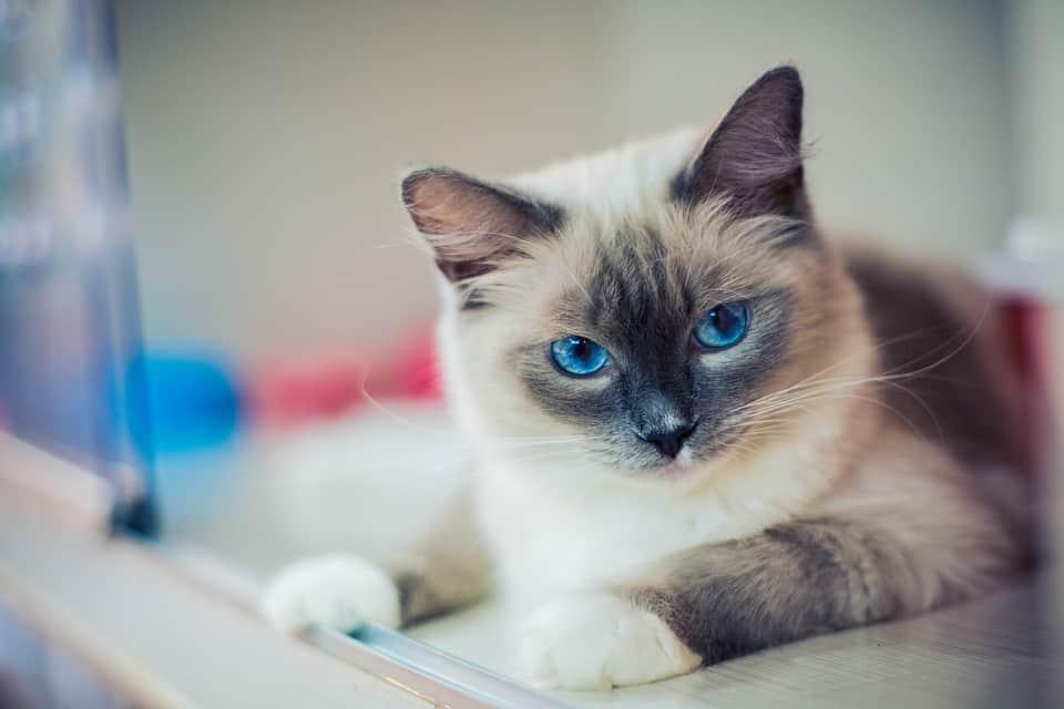 Are Ragdoll Cats High Maintenance? (Trim a Ragdoll)