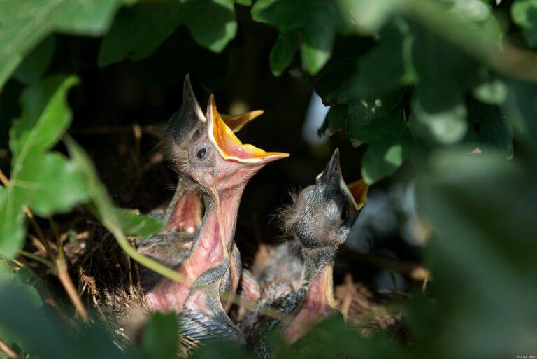 Can Baby Birds Eat Bananas? (Baby Birds Food List)