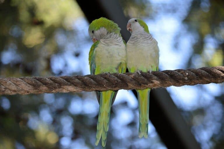 Do Fischer Lovebirds Talk? (Facts & How They Speak)
