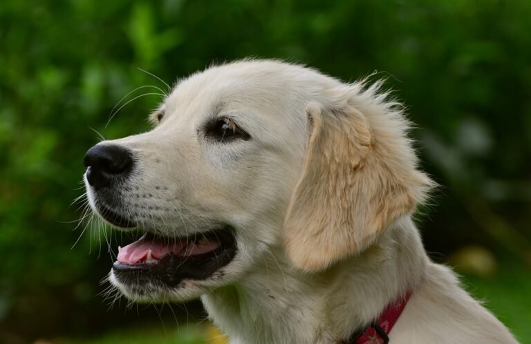 Are Golden Retrievers Good With Cats? (Facts Explained)