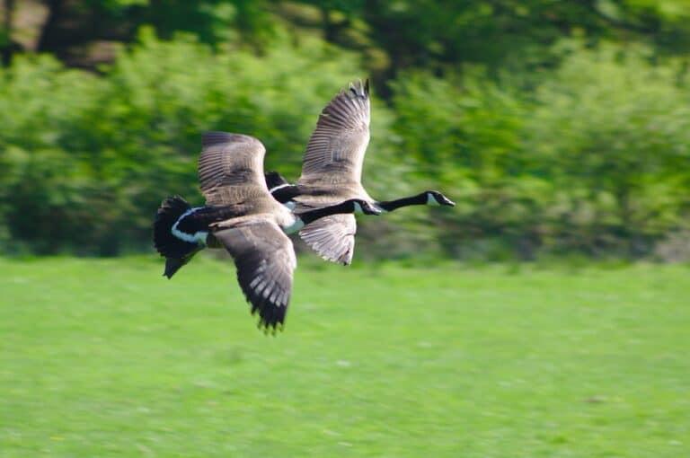 Birds That Fly Very Low Heights (5 Flightless Birds)