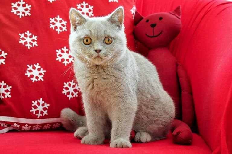Do British Shorthair Cats Need A Companion? (Read This First)