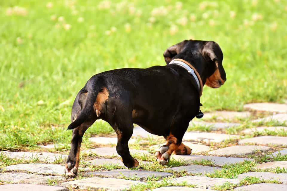 dachshunds
