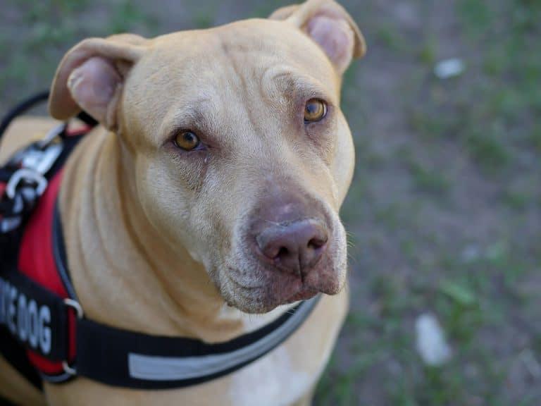10 Best Retractable Dog leash For Pit Bulls