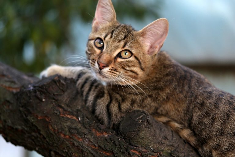 Can Declawed Cats Still Climb Cat Trees? (Yes, If Only…)