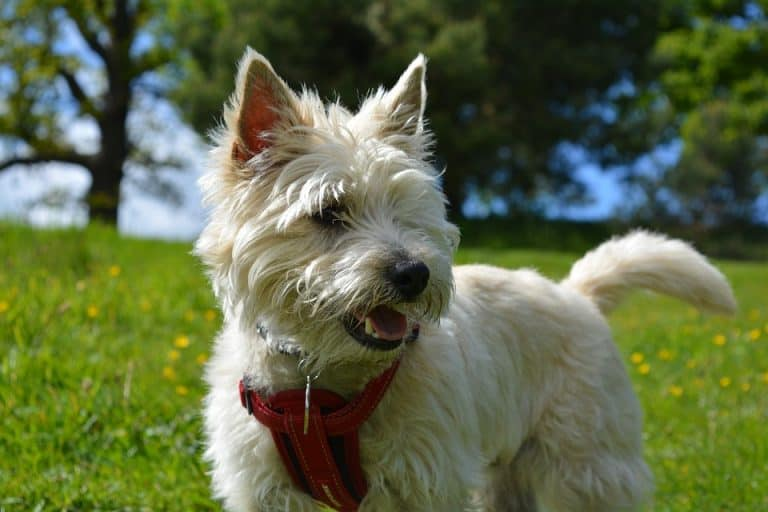 Do Cairn Terriers Shed? (Facts and Temperament)