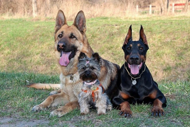 What Dog Breeds Get Along with Dobermans? (Find Out)
