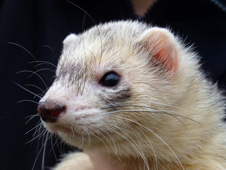 How Much Are Ferrets at Petsmart? (Average Cost)