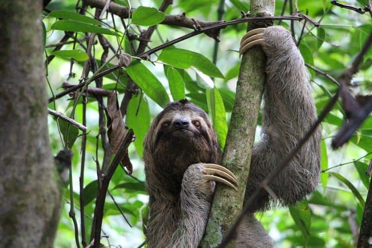 20 Sloth Facts: Care, Food, Breeds, Size, Behavior