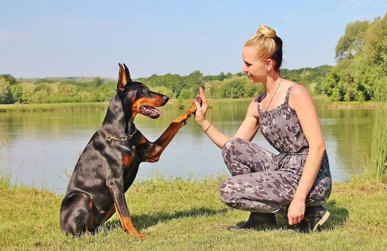 At What Age Do Dobermans Calm Down? (Read This First)