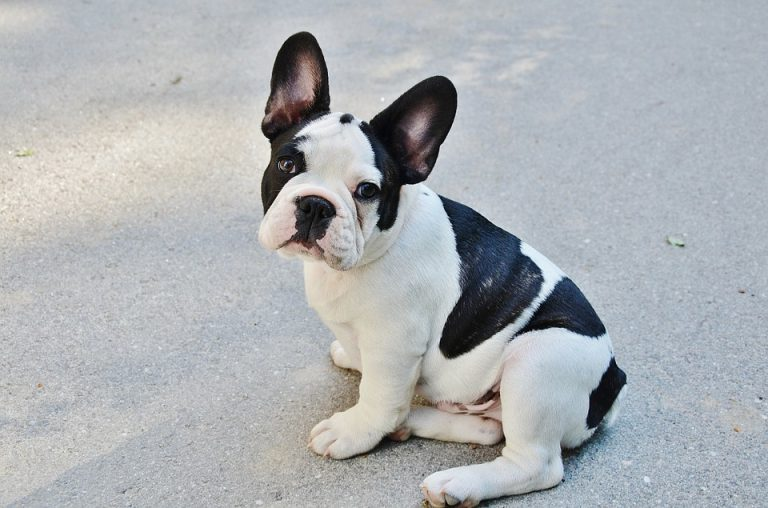 French Bulldog Temperament: 30 Facts You Should Know)