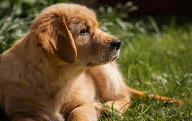 10 Best Dog Crate for Golden Retriever [Guide 2021]
