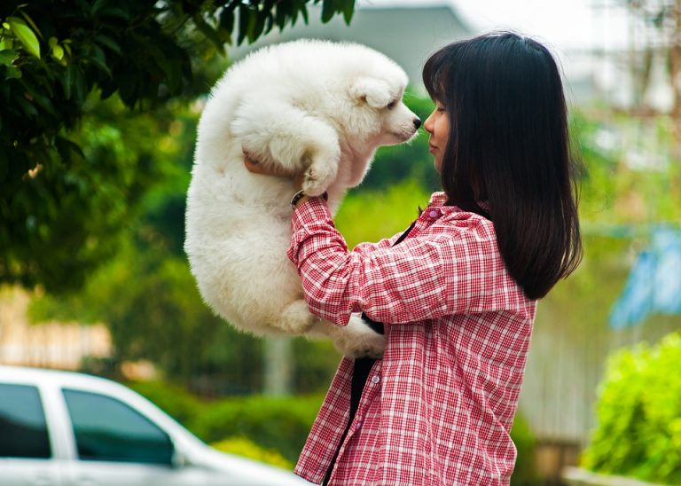 Is a Samoyed a Good First Dog? (Facts and Breed Information)