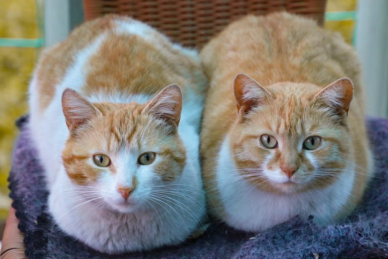 Do Cats Do Better In Pairs (5 Facts and Questions Answered)