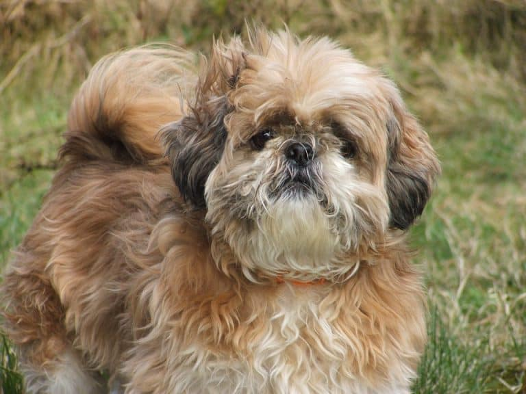 Can I Bathe My Shih Tzu Every day? (Bathing Schedule Routine)